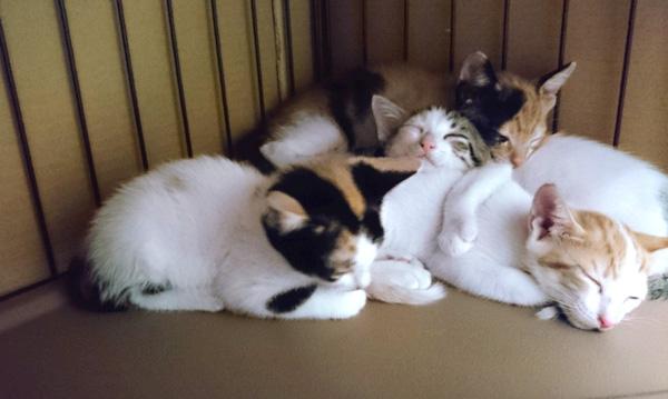 猫団子:ひつじ雲の近くで生まれた子猫を引き取り育てています。
